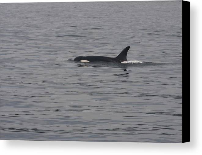 Diving Canvas Print featuring the photograph Orca - 0001 by S and S Photo