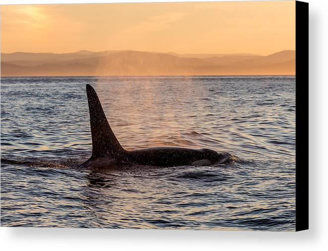 Ocean Canvas Print featuring the photograph Orca At Sunset by Bill Lindsay