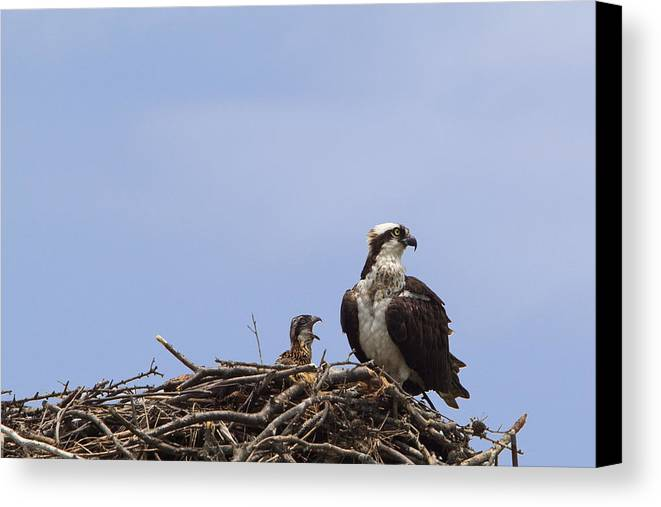 Osprey Canvas Print featuring the photograph Osprey Mother And Chick by Stephanie McDowell