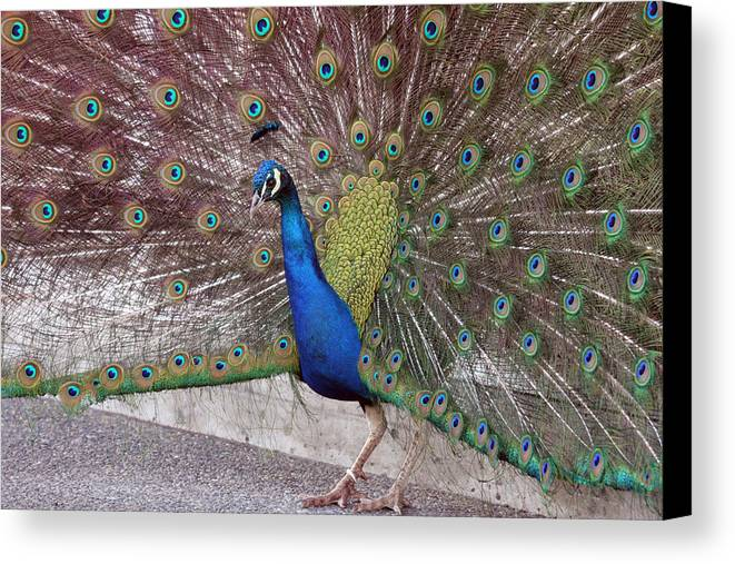 Point Defiance Canvas Print featuring the photograph Peacock - 0013 by S and S Photo
