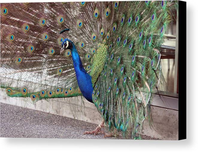 Point Defiance Canvas Print featuring the photograph Peacock - 0015 by S and S Photo