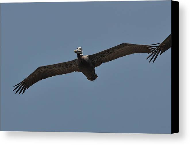 Paul Lyndon Phillips Canvas Print featuring the photograph Pelican Glide Outer Banks - C4018a by Paul Lyndon Phillips