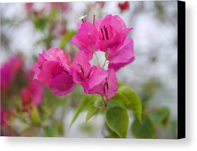 Apple Canvas Print featuring the photograph Pink Flowers by Malania Hammer