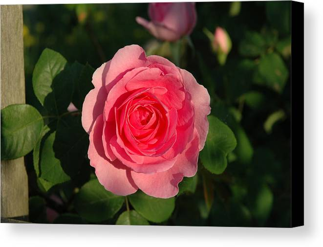 Roses Canvas Print featuring the photograph Pink Old English Rose by Gail Jacobsen