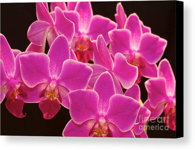 Pink Orchids Canvas Print featuring the photograph Pink Orchid by Mihaela Limberea
