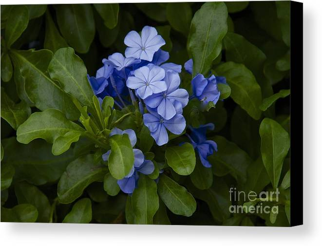 Photography Canvas Print featuring the photograph Plumbago by Sean Griffin