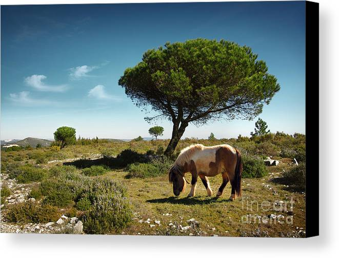 Animal Canvas Print featuring the photograph Pony Pasturing by Carlos Caetano