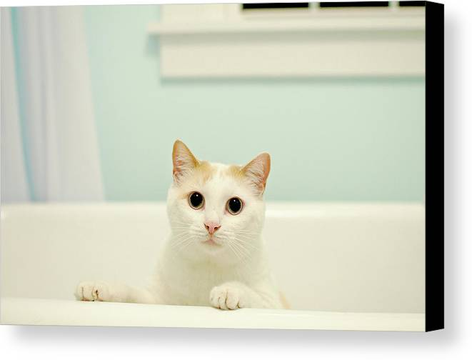 Horizontal Canvas Print featuring the photograph Portrait Of White Cat by Melissa Ross
