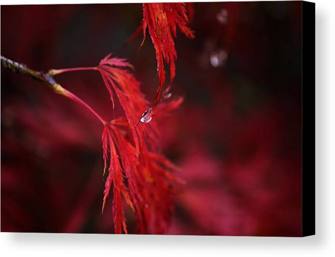Japanese Maple Canvas Print featuring the photograph Raindrop On Japanese Maple by Sarah Broadmeadow-Thomas