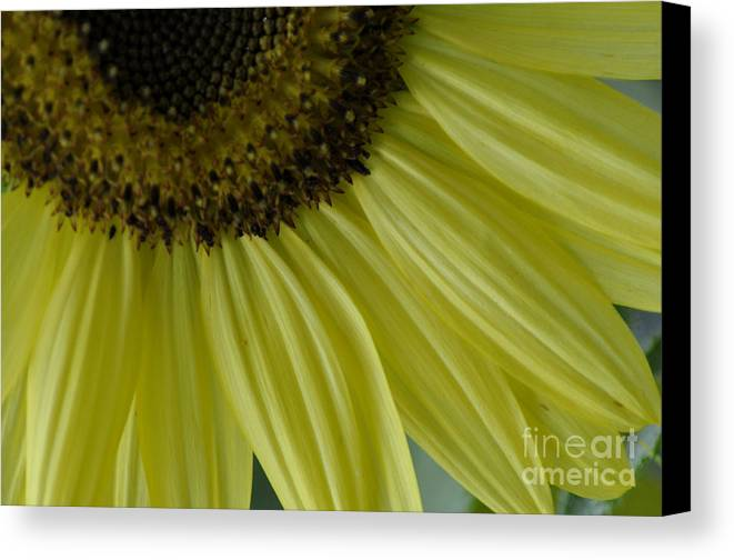 Flowers Canvas Print featuring the photograph Rays Of Sunshine by Tamera James