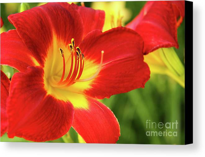 Flower Canvas Print featuring the photograph Red Day Lily by Gayle Johnson