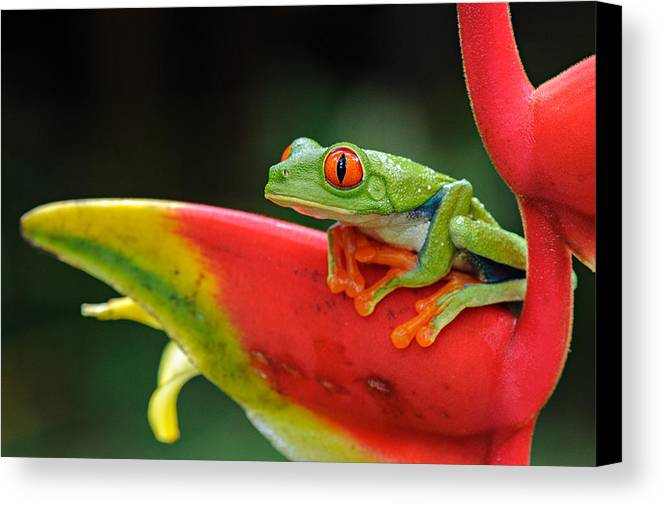 Atlantic Lowland Rainforest Canvas Print featuring the photograph Red-eyed Tree Frog by JM Sowle
