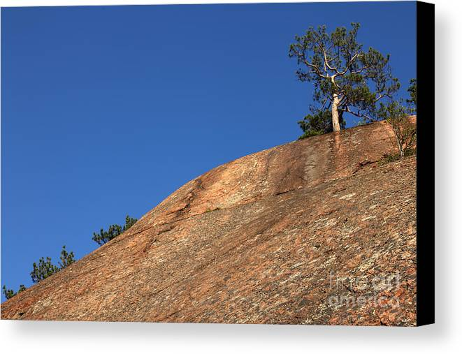 Granite Bedrock Canvas Print featuring the photograph Red Pine Tree by Ted Kinsman