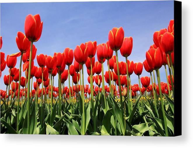 Tulips Canvas Print featuring the photograph Red Tulips by Kean Poh Chua