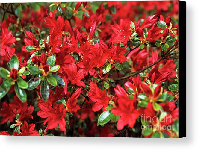 Rhododendron 'black Hawk' Canvas Print featuring the photograph Rhododendron by Adrian Thomas