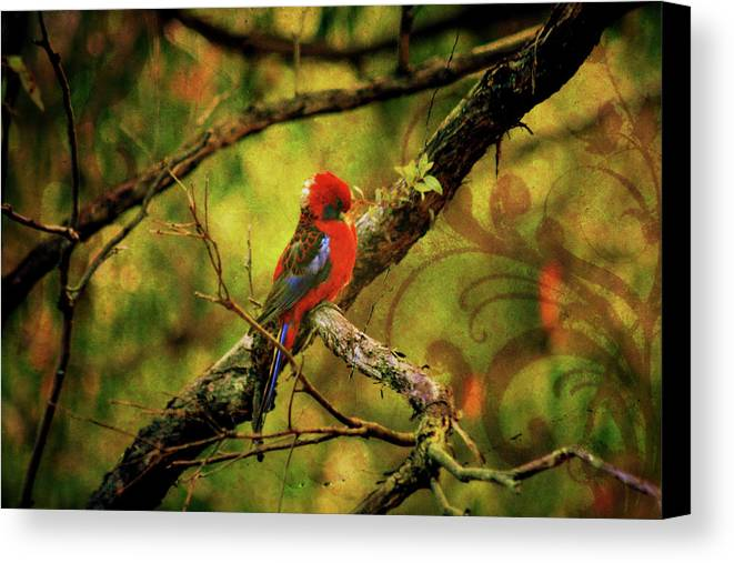 Rosella Canvas Print featuring the photograph Rosella by Douglas Barnard