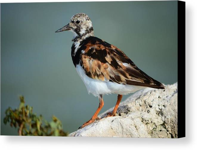 Ruddy Turnstone Canvas Print featuring the photograph Ruddy Turnstone by Lynda Dawson-Youngclaus