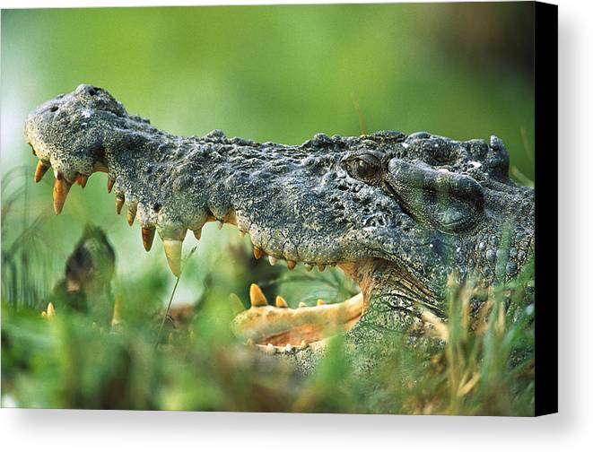 Mp Canvas Print featuring the photograph Saltwater Crocodile Crocodylus Porosus by Cyril Ruoso