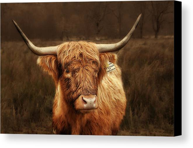 Scotland Canvas Print featuring the photograph Scottish Moo Coo - Scottish Highland Cattle by Christine Till