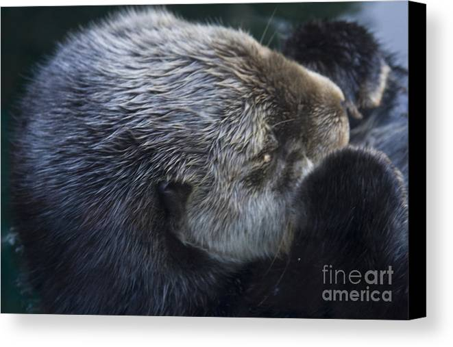 Alaska Canvas Print featuring the photograph Sleeping Otter by Brenda Doucette