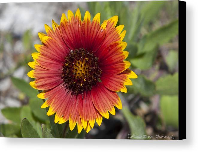 Flower Canvas Print featuring the photograph Smiles by Charles Warren