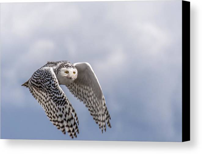 Bird Canvas Print featuring the photograph Snowy Owl In Flight by Ian Stotesbury