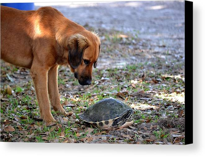 Canvas Print featuring the photograph Stare Down by Katrina Johns