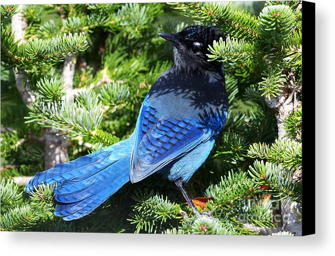 Steller`s Jay Canvas Print featuring the photograph Stellers Jay 2 by Sharon Talson