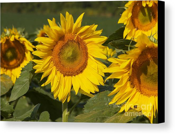 Sun Flower Canvas Print featuring the photograph Sun Flower by William Norton