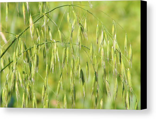 Oats Canvas Print featuring the photograph Sunny Day At The Oat Field by Christine Till