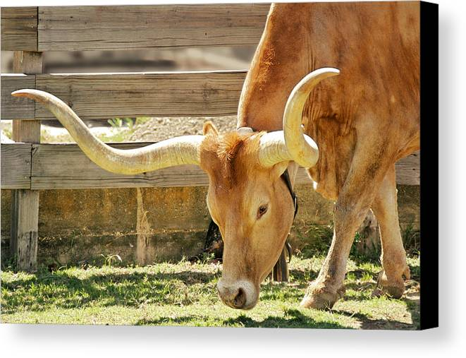 Long Canvas Print featuring the photograph Texas Longhorns - A Genetic Gold Mine by Christine Till