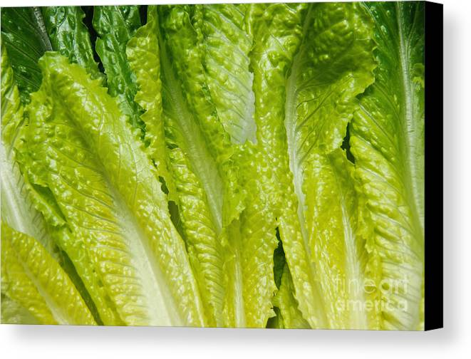 Romaine-lettuce Canvas Print featuring the photograph The Heart Of Romaine by Andee Design