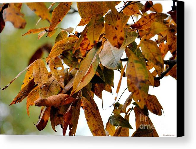 The Hickory In Autumn 2 Canvas Print featuring the photograph The Hickory In Autumn 2 by Maria Urso