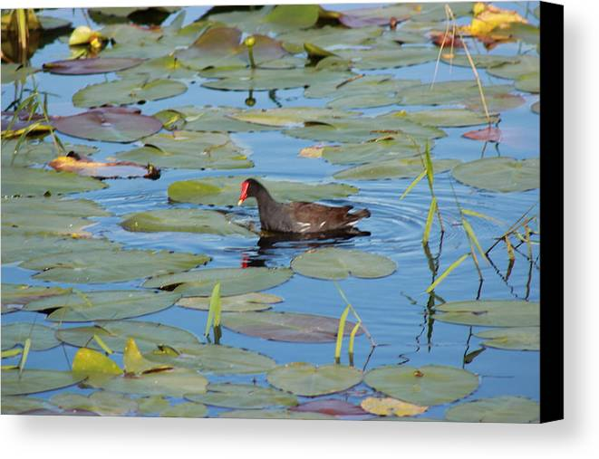 Duck Canvas Print featuring the photograph This Quacks Me Up by Mike Wilber