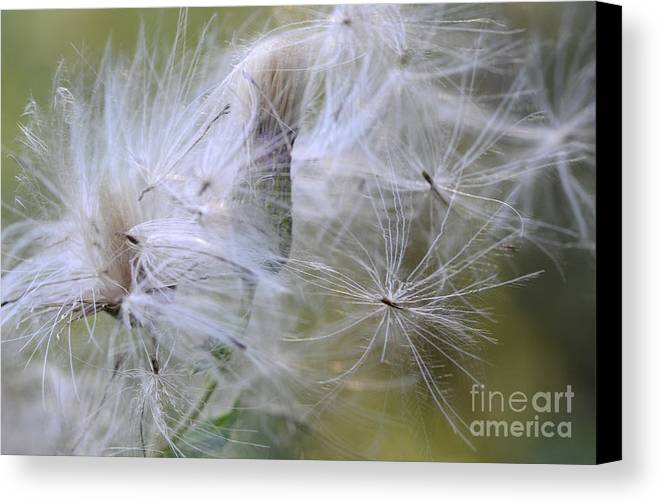 Thistle Seeds Canvas Print featuring the photograph Thistle Seeds by Bob Christopher