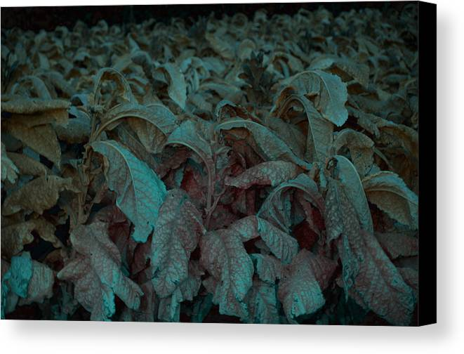 Tobacco Canvas Print featuring the photograph Tobacco Front by Affini Woodley