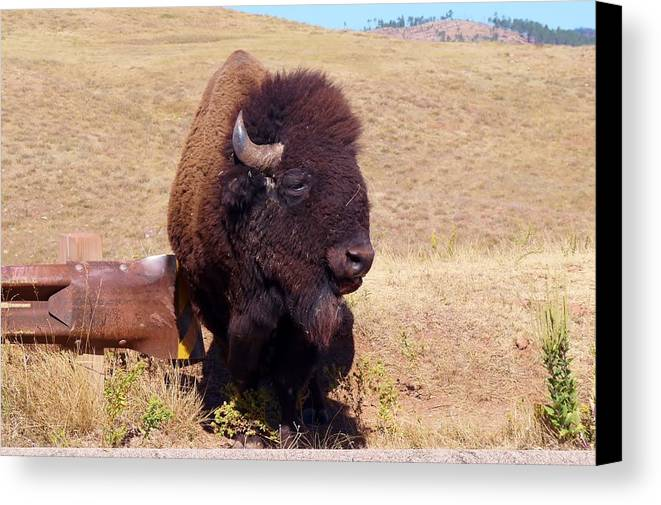 Buffalo Canvas Print featuring the photograph Traffic Check by Sharon Harrison