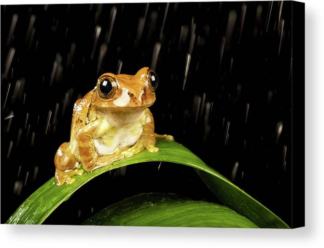 Horizontal Canvas Print featuring the photograph Tree Frog In Rain by MarkBridger