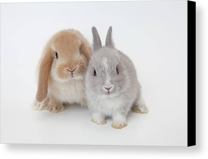 Horizontal Canvas Print featuring the photograph Two Rabbits.netherland Dwarf And Holland Lop. by Yasuhide Fumoto