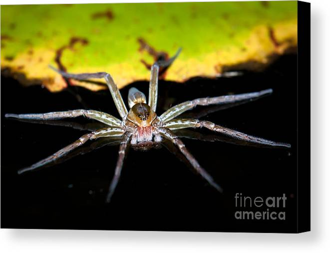 Spider Canvas Print featuring the photograph Water Spider by Johan Larson