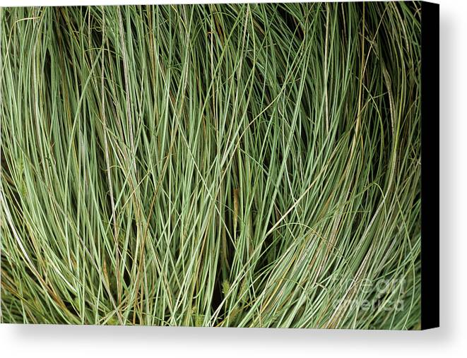 Carex Oshimensis Canvas Print featuring the photograph Weeping Sedge (carex Oshimensis) by Archie Young