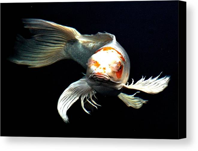 Koi Canvas Print featuring the digital art What You Doin Up There by Don Mann
