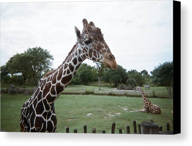 Giraffe Canvas Print featuring the photograph Whats Up by Val Oconnor