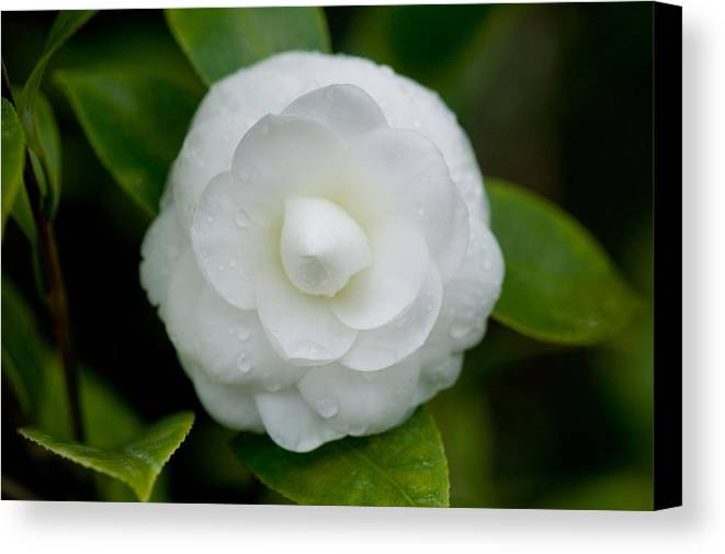 Camellia Canvas Print featuring the photograph White Camellia by Rich Franco
