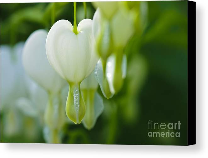 Bleeding Hearts Canvas Print featuring the photograph White Hearts by Christine Kapler