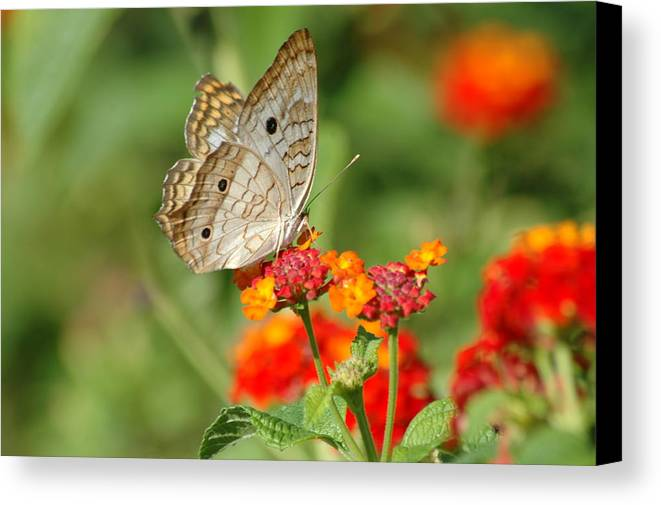 Butterfly Canvas Print featuring the photograph White Peacock Butterfly by Carolyn Marshall
