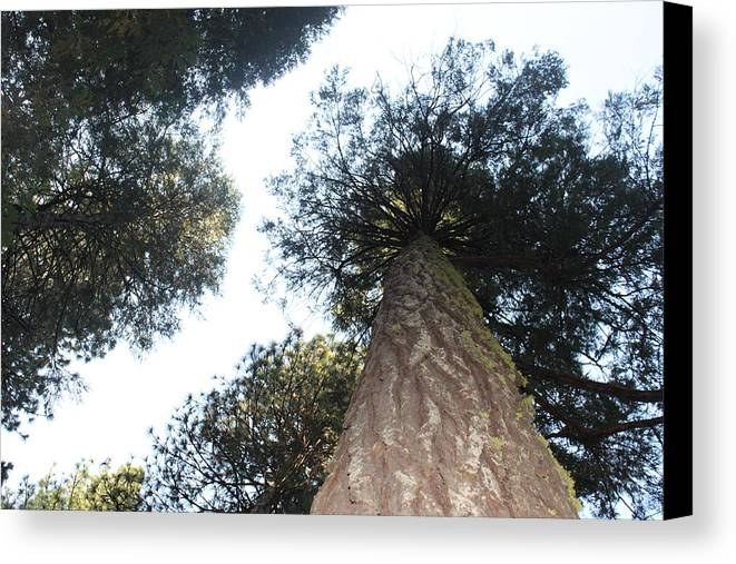 Pine Trees Canvas Print featuring the photograph Yosemite Skyline by Remegio Onia