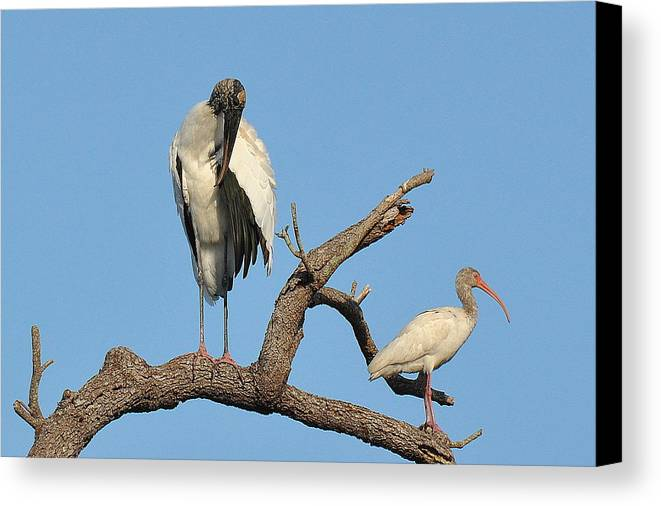 Wood Stork Ibis Canvas Print featuring the photograph You Are Cute by Daniel Burnstein