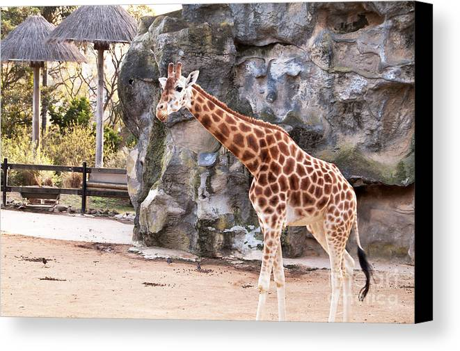 Photograph Canvas Print featuring the photograph Young Giraffe by Bob and Nancy Kendrick