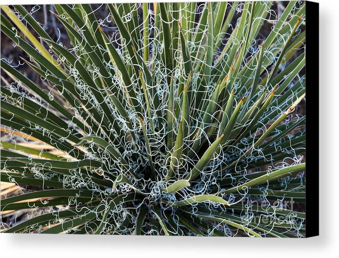 Yucca Canvas Print featuring the photograph Yucca by Vivian Christopher